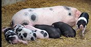 Peak District Farm Shop's pigs