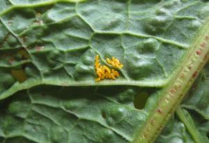 Gastrophysa Viridula eggs