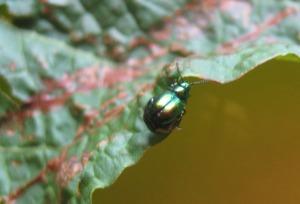 Gastrophysa Viridula